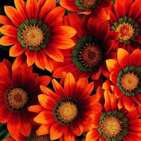 Гибридная гацания - фото цветов