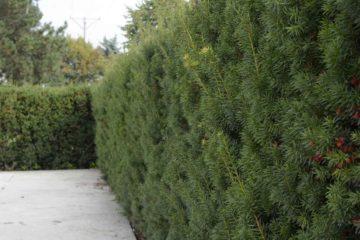Хвойное растение тис - всё о нем