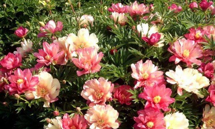 Ито-гибриды пионов джулиа роуз - что это