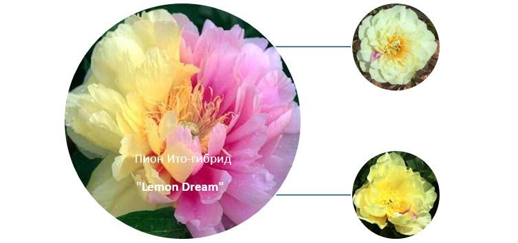 Ито-гибриды пионов lemon dream - что это