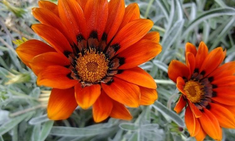 Короткостебельный арктотис - выращивание из семян