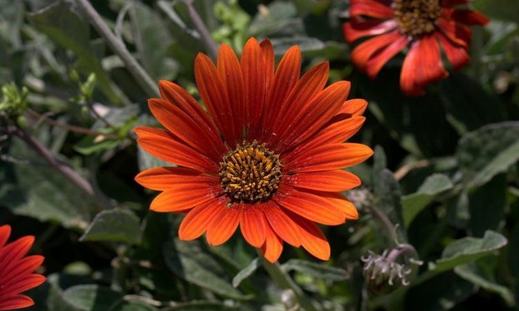 Крупноцветковый арктотис - выращивание из семян, фото