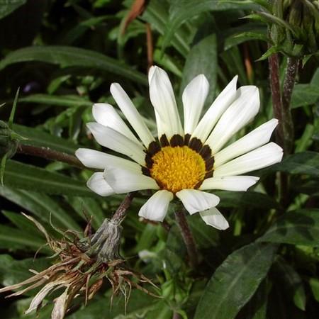 Однолетний цветок гацания с фото
