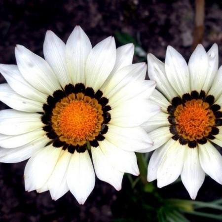Однолетний цветок гацания - снежно-белая, фото