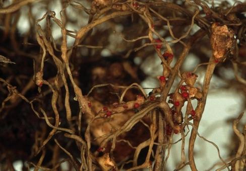 Пеперомия: вредители и болезни - фото личинок нематод