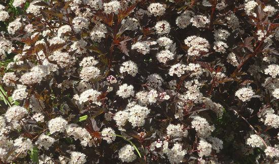 Пузыреплодник (physocarpus): посадка и уход, фото
