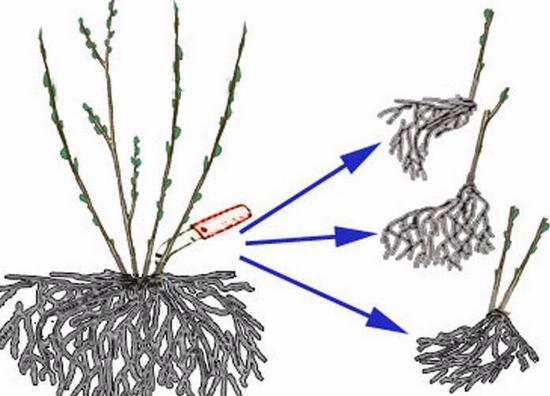 Пузыреплодник калинолистный: посадка и уход, деление куста