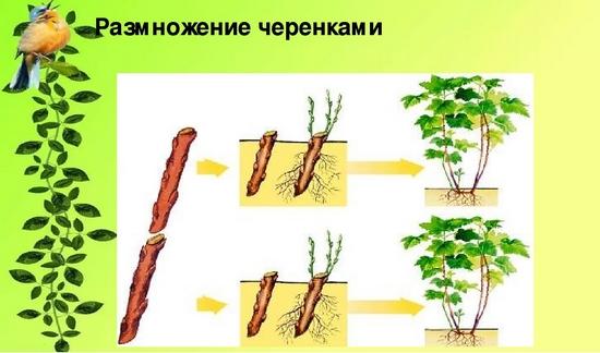 Пузыреплодник калинолистный: посадка и уход, размножение черенками