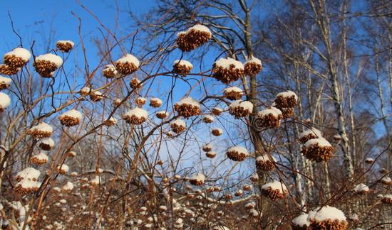 Пузыреплодник калинолистный: посадка и уход зимой