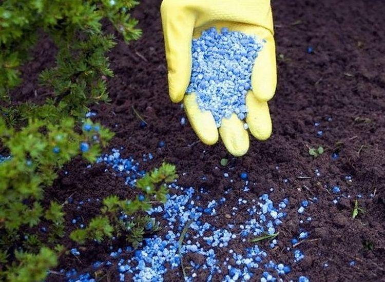 Пузыреплодник: посадка и уход в открытом грунте, фото - подкормка