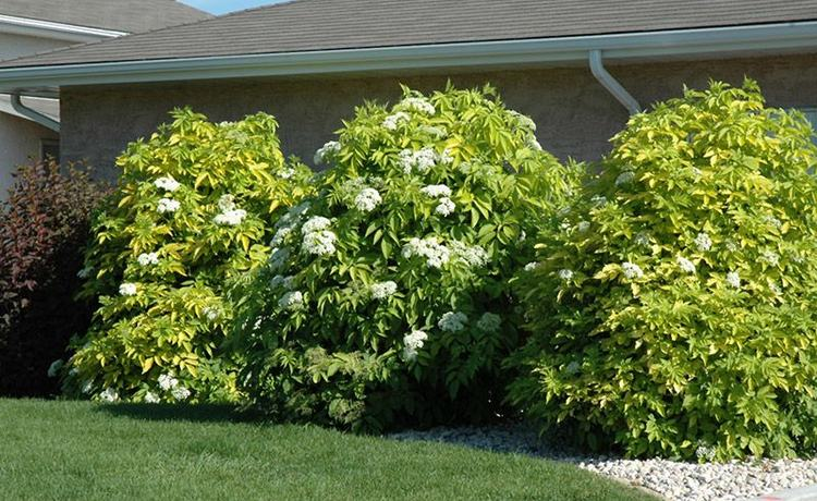 Растение канадская бузина - ее описание и фото