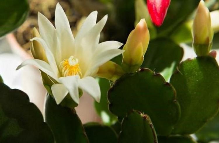 Рипсалидопсис уход в домашних условиях цветение