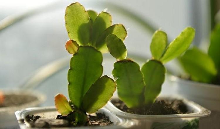 Рипсалидопсис уход в домашних условиях размножение первый способ