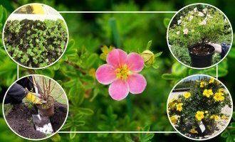 Способы размножения лапчатки кустарниковой
