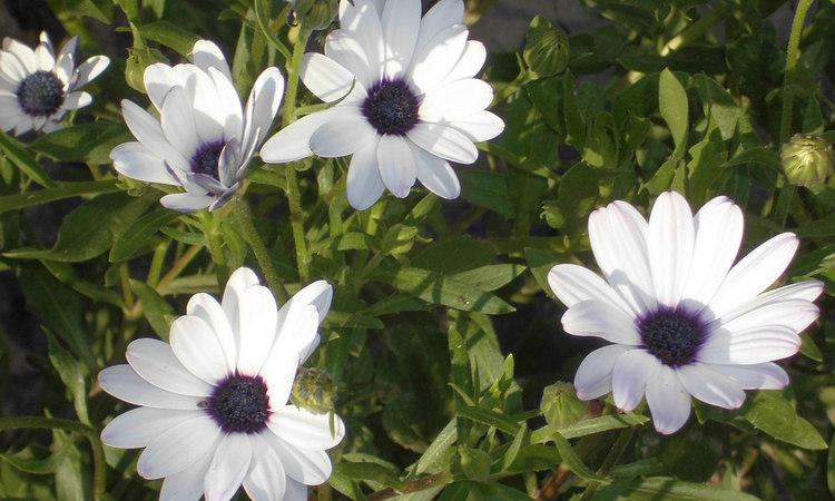 Стехасолистный арктотис - фото, выращивание, уход