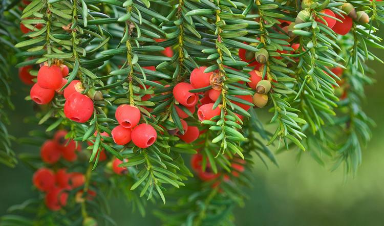 Тис - хвойное растение, фото