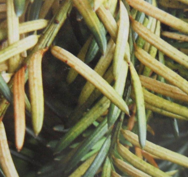 Тис ягодный: болезни, описание и фото