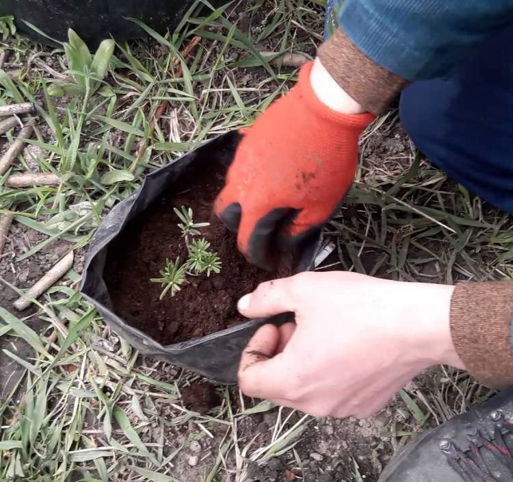 Тис ягодный: посадка, описание и фото