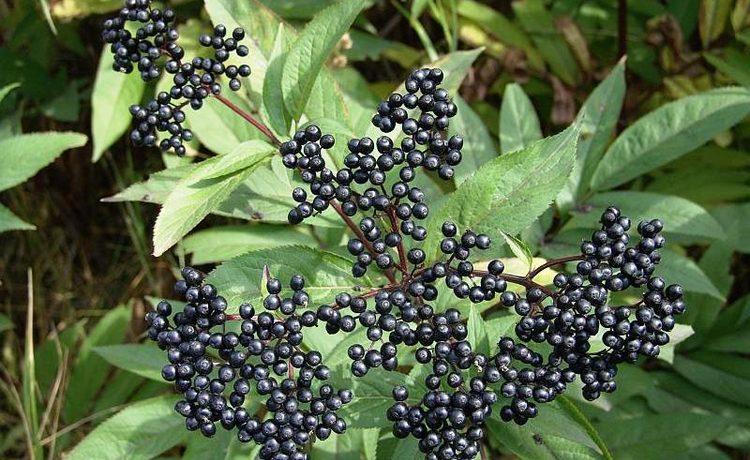 Травянистая бузина - фото и описание кустарника