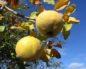 Айва - кустарник, фото, полезные свойства