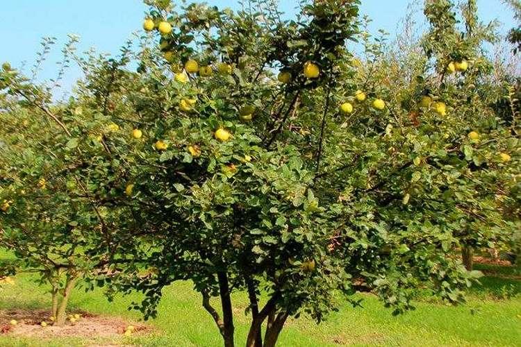 Айва кустовая: уход и выращивание