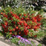 Айва: посадка, уход, выращивание кустарника