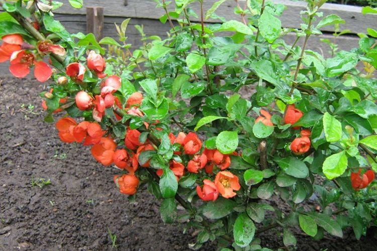 Айва: уход и выращивание кустарника