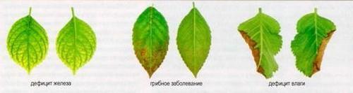 Болезни древовидной гортензии и их лечение, фото