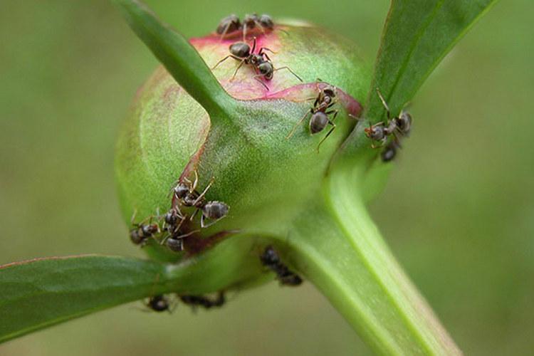 Болезни и вредители пионов - муравьи