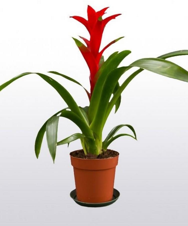 Цветок гузмания темпо - уход в домашних условиях