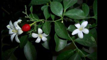 Цветок мурайя и его лечебные свойства