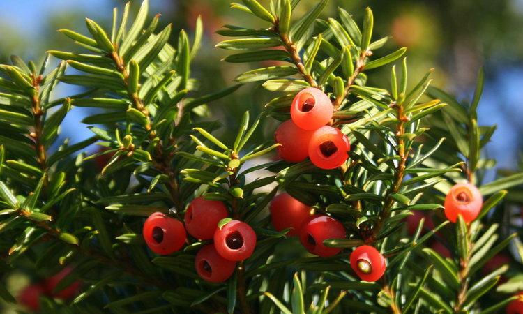 Дерево тис ягодный: фото и описание