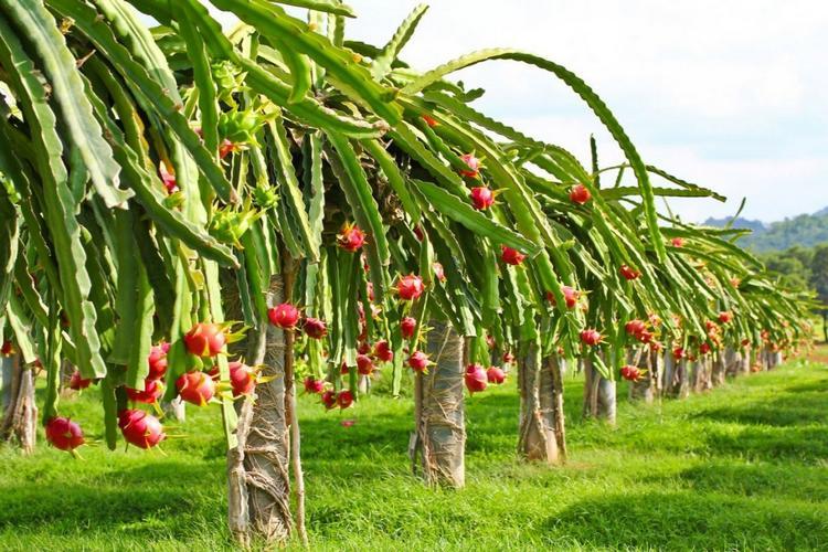 Драконовый фрукт питахайя - как вырастить дома