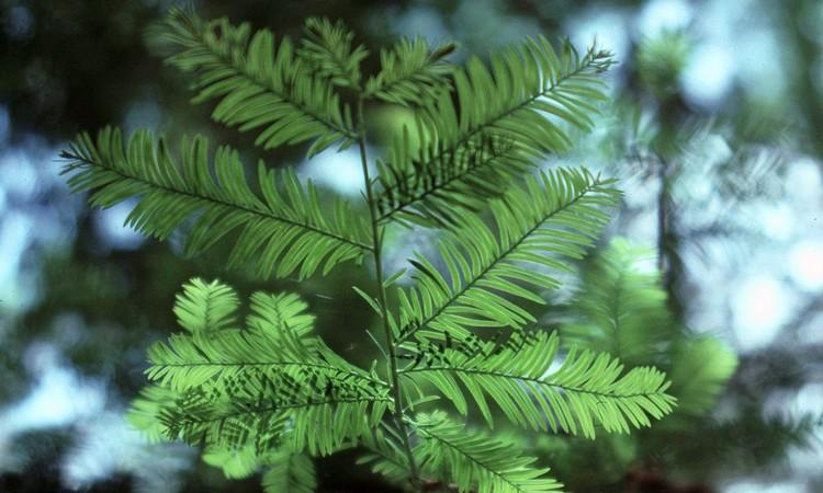 Флоридский тис - фото дерева и описание
