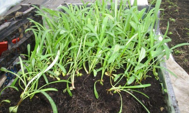 Гацания: выращивание из семян, фото