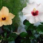 Гибискус: фото, описание растения, разновидности цветка