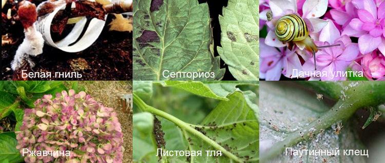 Гортензия древовидная, болезни и вредители, фото
