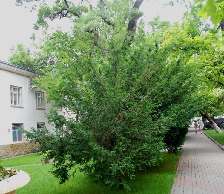 Канадский тис - фото дерева и описание