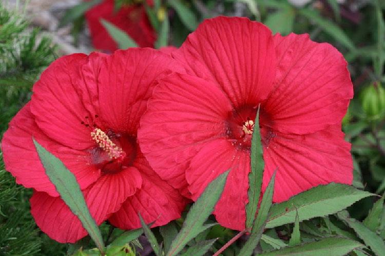 Китайская роза (гибискус гибридный файерболл) - разновидности с фото и названиями