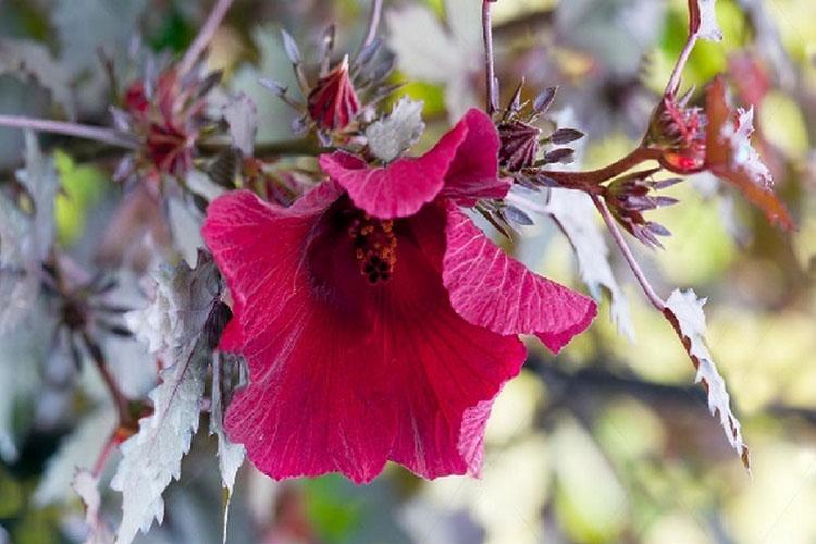 Китайская роза кленолистный махагон: разновидности с фото и названиями