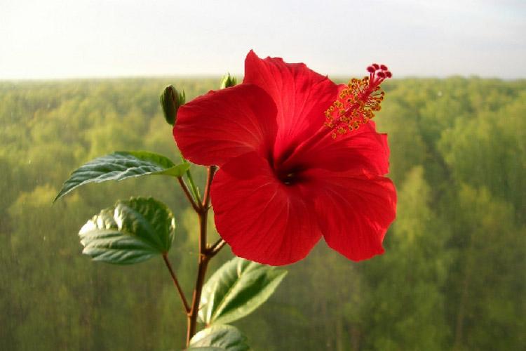 Китайская роза сабдарифа: разновидности с фото и названиями