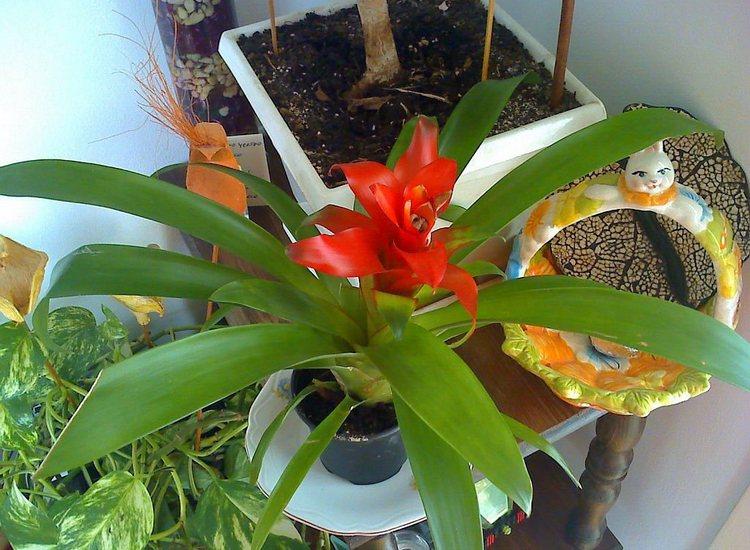 Комнатное растение гузмания - уход, фото цветка