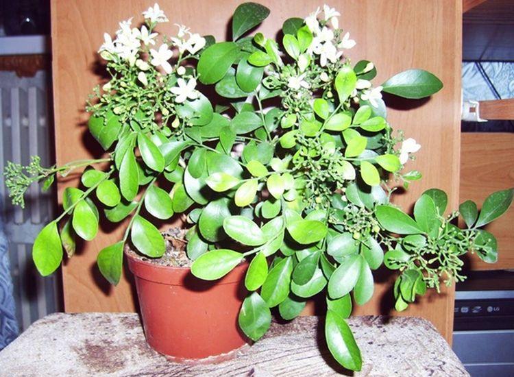 Мурайя - комнатное растение с полезными свойствами