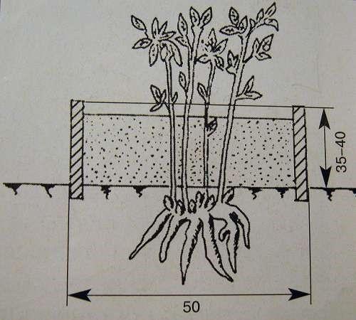Отводочное размножение пионов