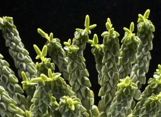Пеперомия столбчатая - фото цветка