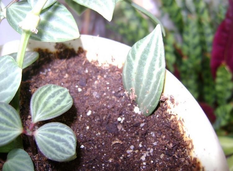 Пеперомия: уход в домашних условиях (размножение листьями)