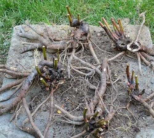 Пионы: размножение делением куста