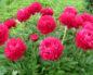 Пионы травянистые: сорта с фото и названиями