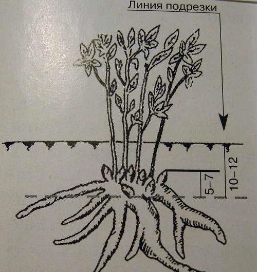 Размножение пионов подрезкой