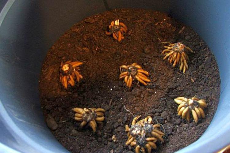 Размножение ранункулюса в домашних условиях